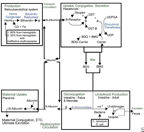 Figure 1. Overview of bilirubin metabolism